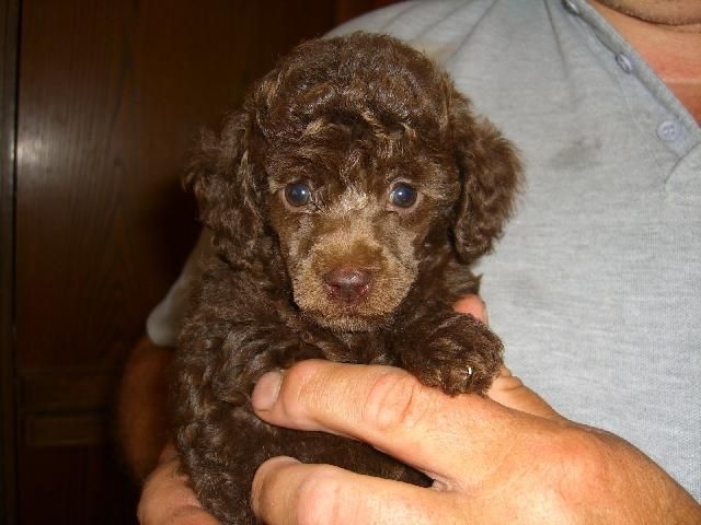 Chocolate Poodles Are The Best Chocolate Poodle Chocolate Lab