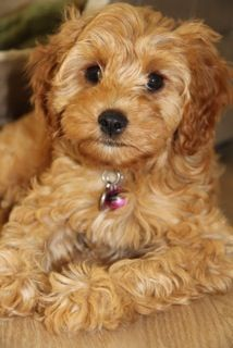 Cavapoo Wikipedia Cavapoo Puppies Cavapoo Dog Crossbreeds