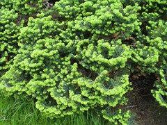 Abies Balsamea Nana Plant Finder Trees To Plant Plant Finder Missouri Botanical Garden