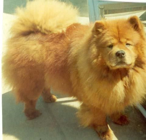 My One And Only Chow Chow Her Name Is Bijoux Cute Animals Pets