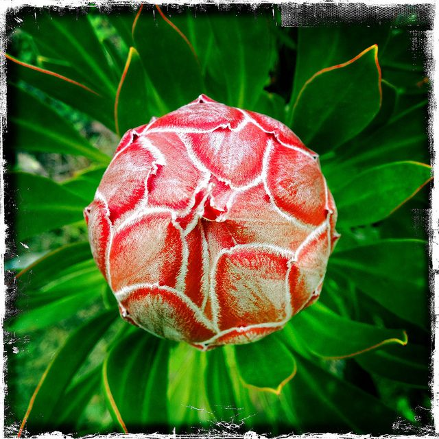 Beauty In Maui, Protea King, Kula Botanical Gardens, Maui, Hawaii.