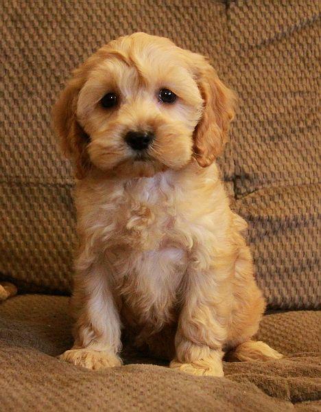 Best 25+ Cockapoo puppies ideas on Pinterest | Cockapoo ...