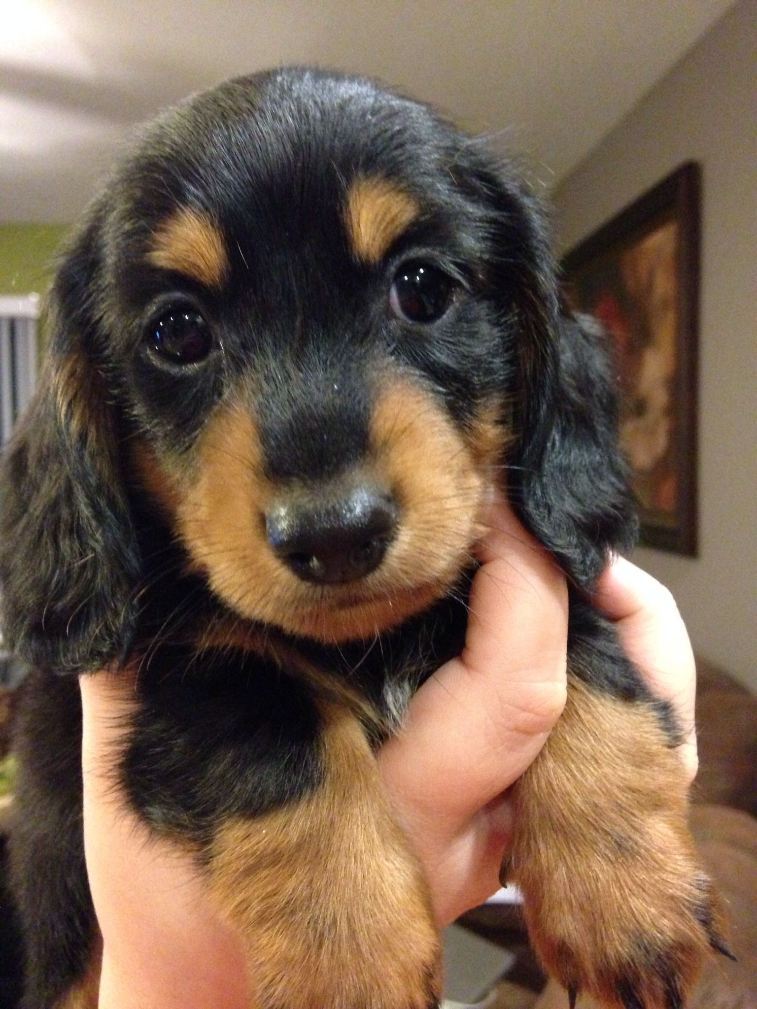 Another One Of Our Dachshund Puppies From Our 2nd Litter The Mom