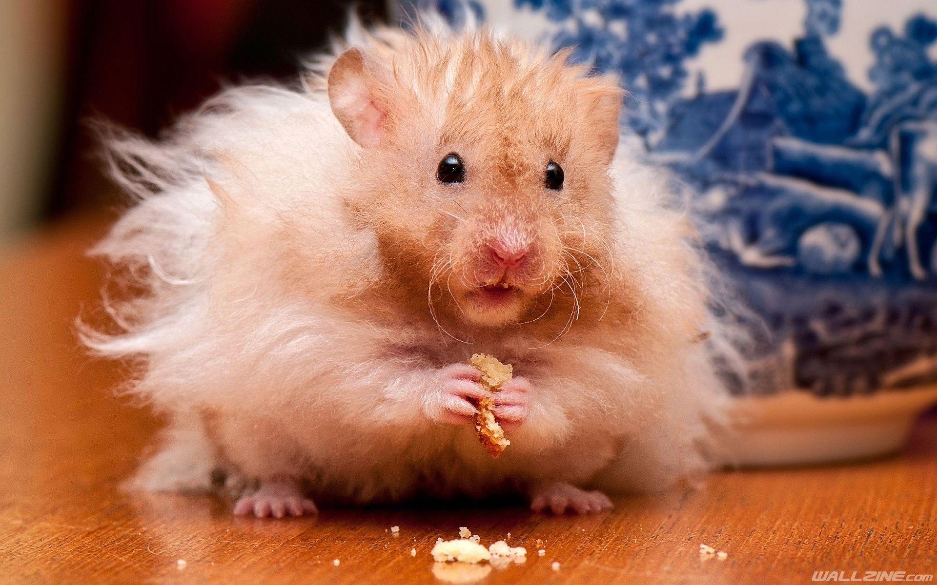 Fluffy Hamster Hd Desktop Wallpaper Wallzine Com Hamster