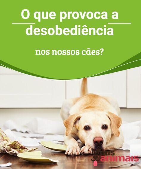 O que provoca a desobediência nos nossos cães | Cães de