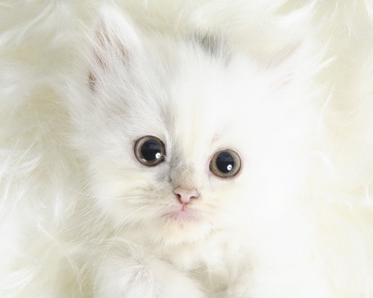 so cute white little kitty LOVELY IN WHITE Pinterest
