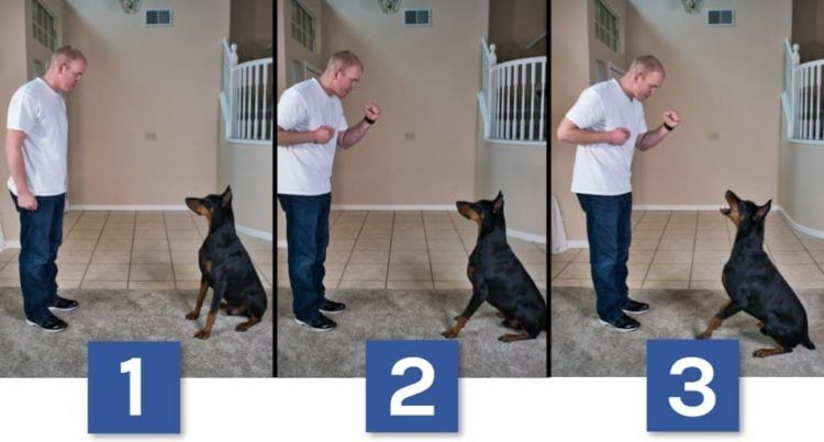 13 Easy Tricks To Teach Your Doberman With Pictures Doberman