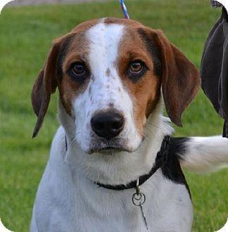 Clarkston Mi Beagle Labrador Retriever Mix Meet Ozzy A Dog For Adoption Http Www Adoptapet Com Pet 11467552 Clarkston Mi Pets Dog Adoption Shelter Dogs
