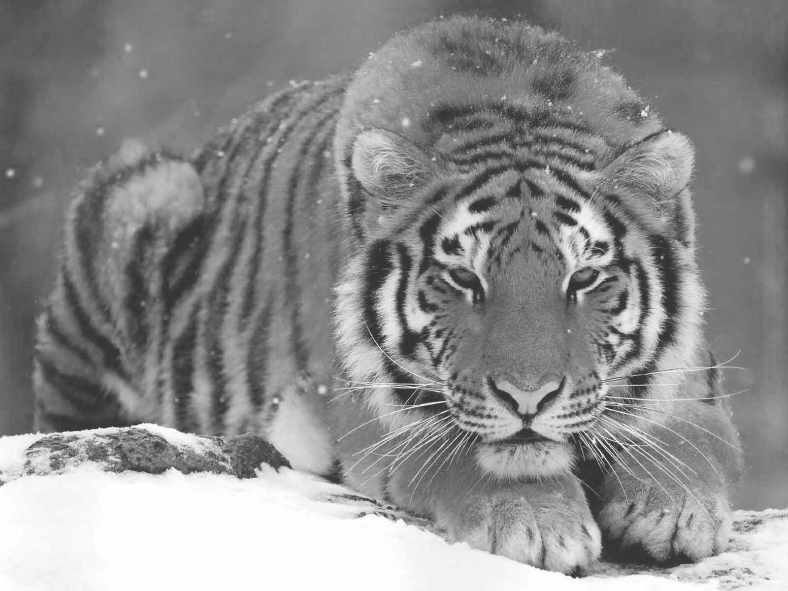 Kleurplaat Tijger Grote Katten Hd Wallpaper Katachtigen