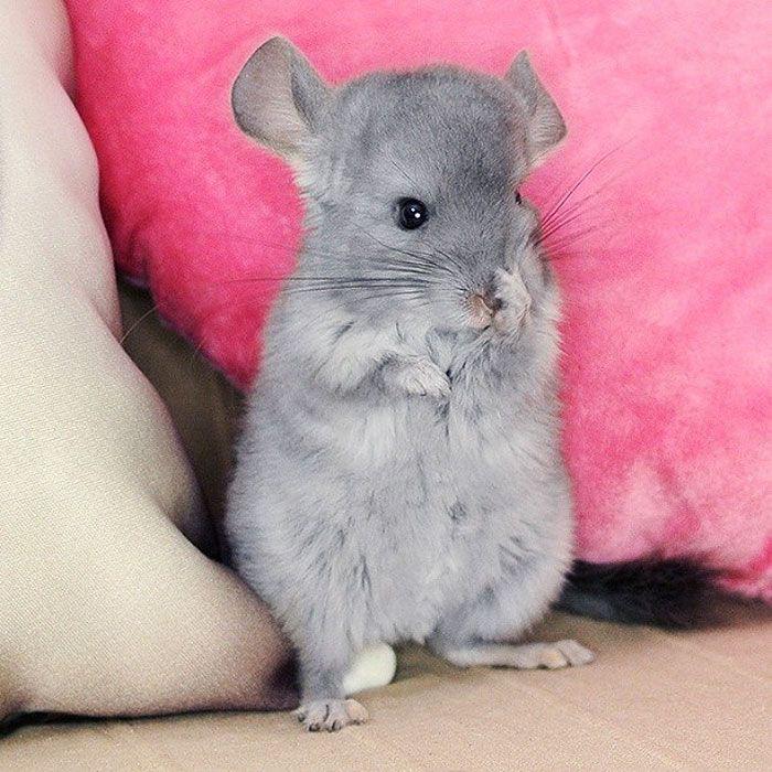 Baby Chinchilla Chinchilla Cute Chinchilla Funny Chinchilla Pet