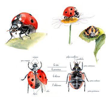 Planche D Illustration Sur La Coccinelle Aquarelle Naturaliste