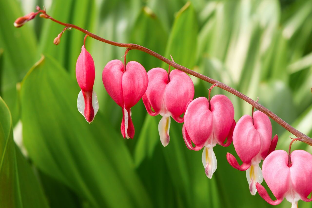 Brilliantly Interesting Facts About the Bleeding Heart