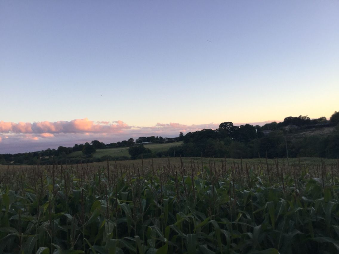 Corn field in the middle of nowhere