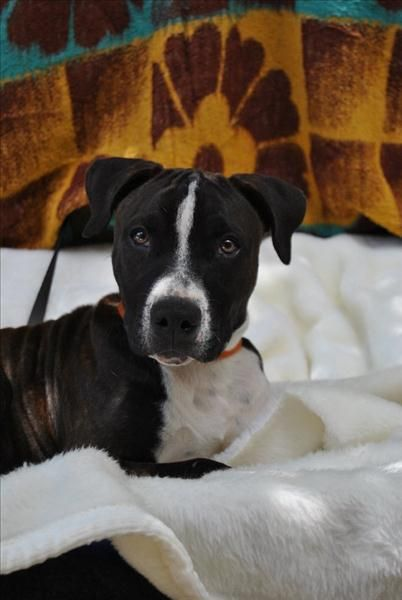 Hey I M Ollie I M A Cute And Clever Little Staffy Cross I M Only Young And Would Benefit From Some Doggy Training Sadly I Came To Adoption Pet Care Animals