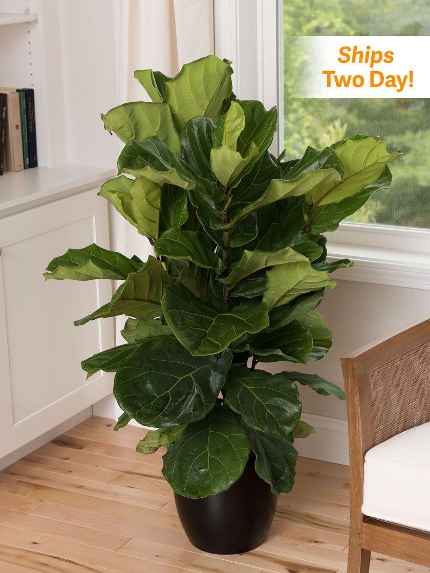 Fiddle leaf fig 10 potted plant in 2020 fiddle leaf fig