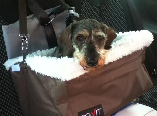 Truffle The Mini Dachsund In Her Large Solvit Dog Car Booster Seat