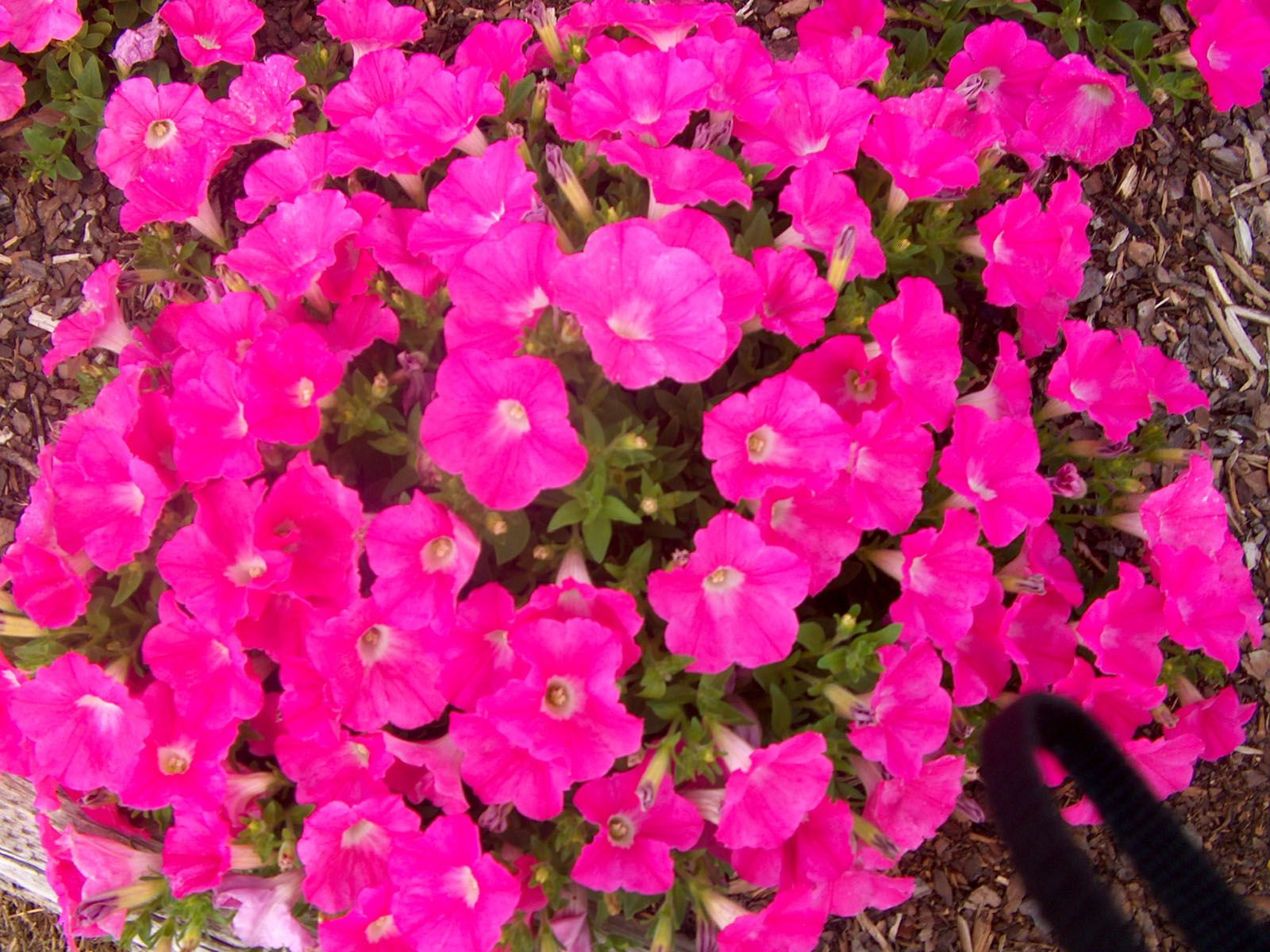 Petunias are one of the best spring and summer flowering annuals and petunias are one of the best spring and summer flowering annuals and can be found growing in a zone of the country at any season of the year izmirmasajfo