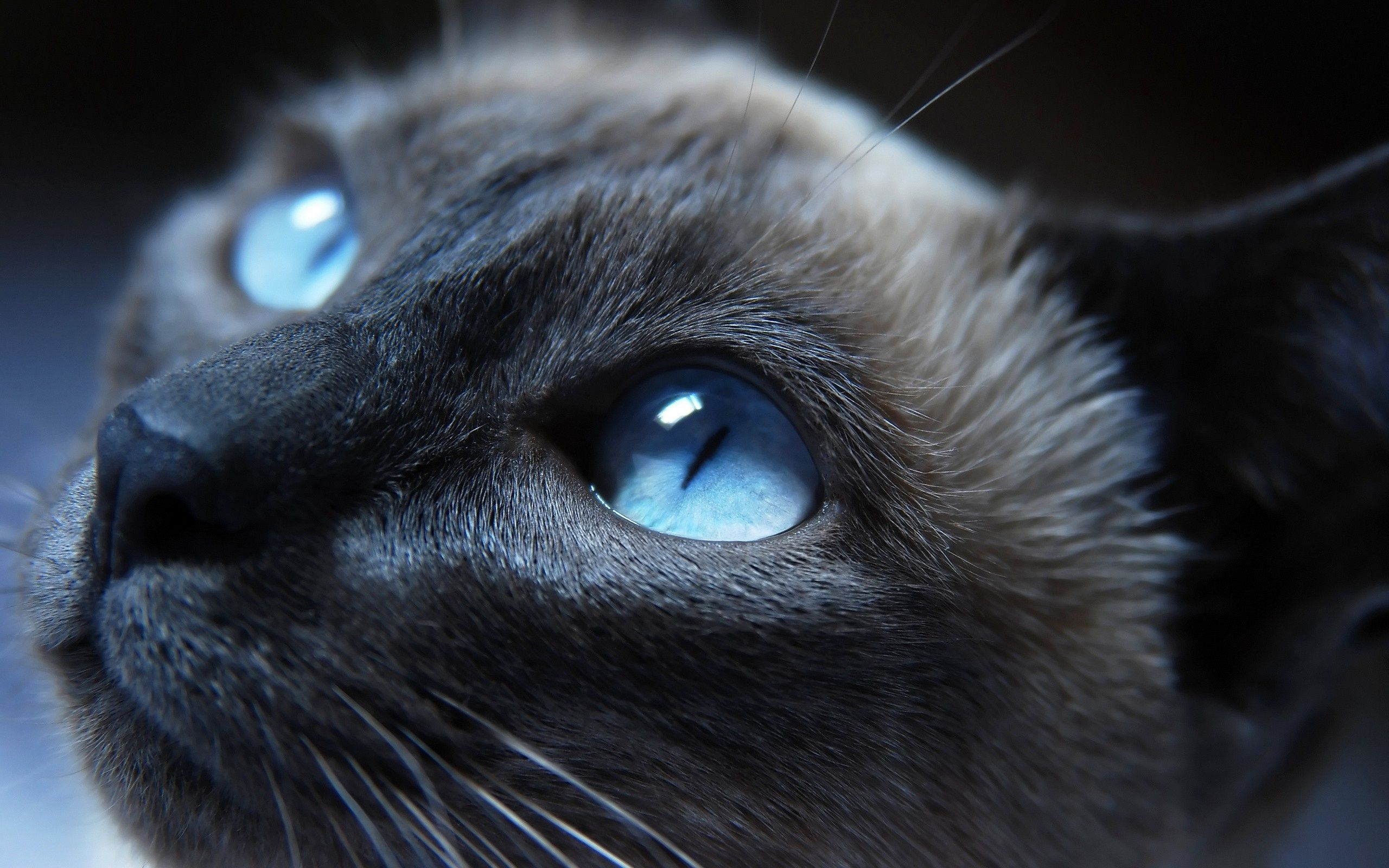 cats blue eyes animals black cat x wallpaper High Quality