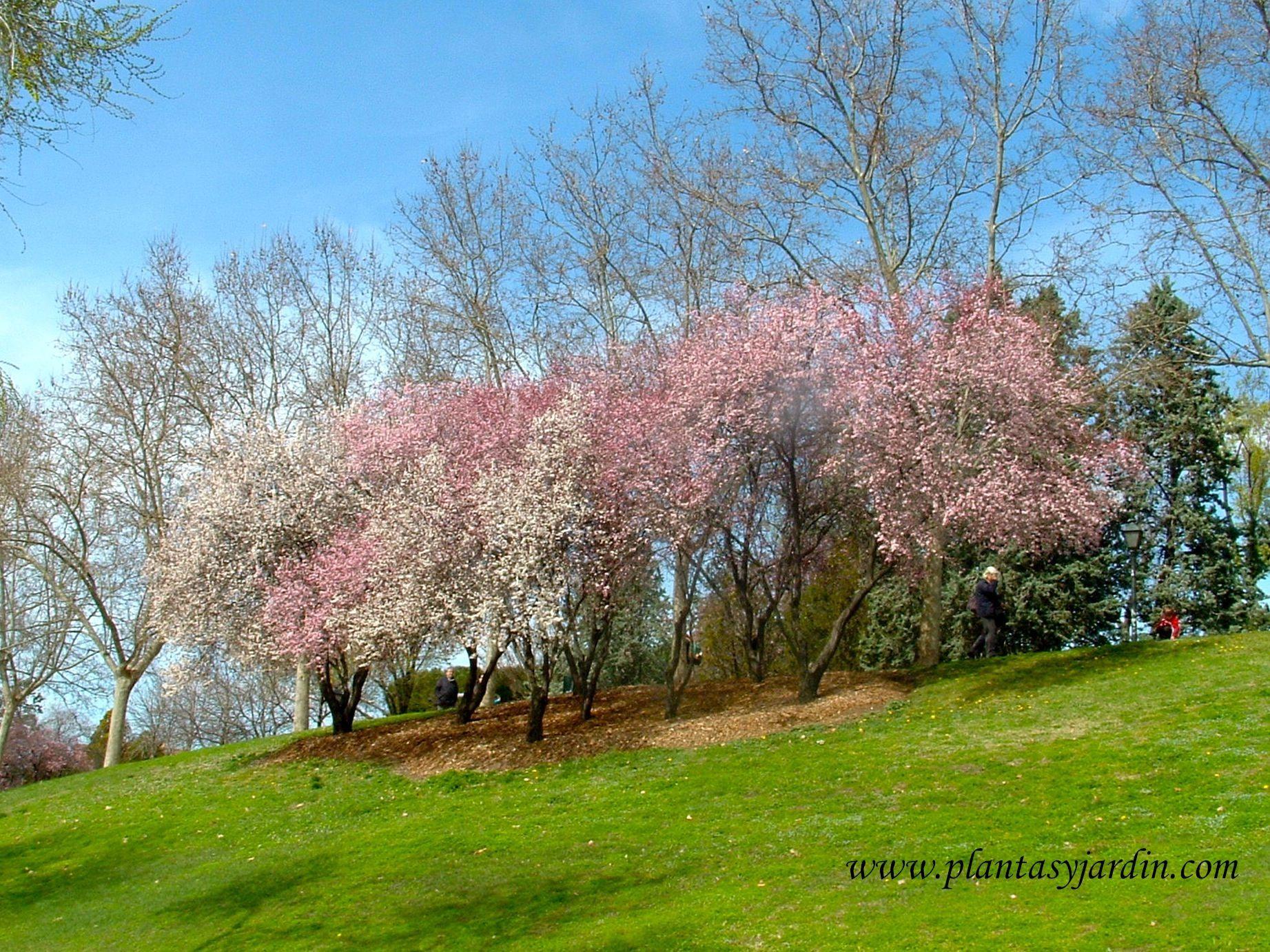 Prunus en conjunto de flores blancas y rosadas florecidos for Arboles de flores para jardin