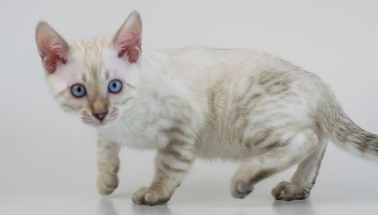 Bengal cats for sale uk