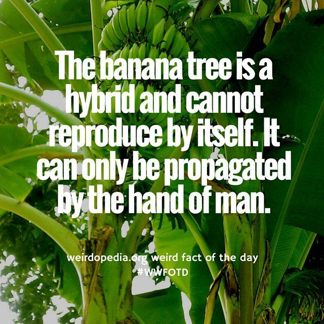 Technically Banana Plants Are Herbs And Bananas Are Berries. Weird Plants.  #wwfotd #