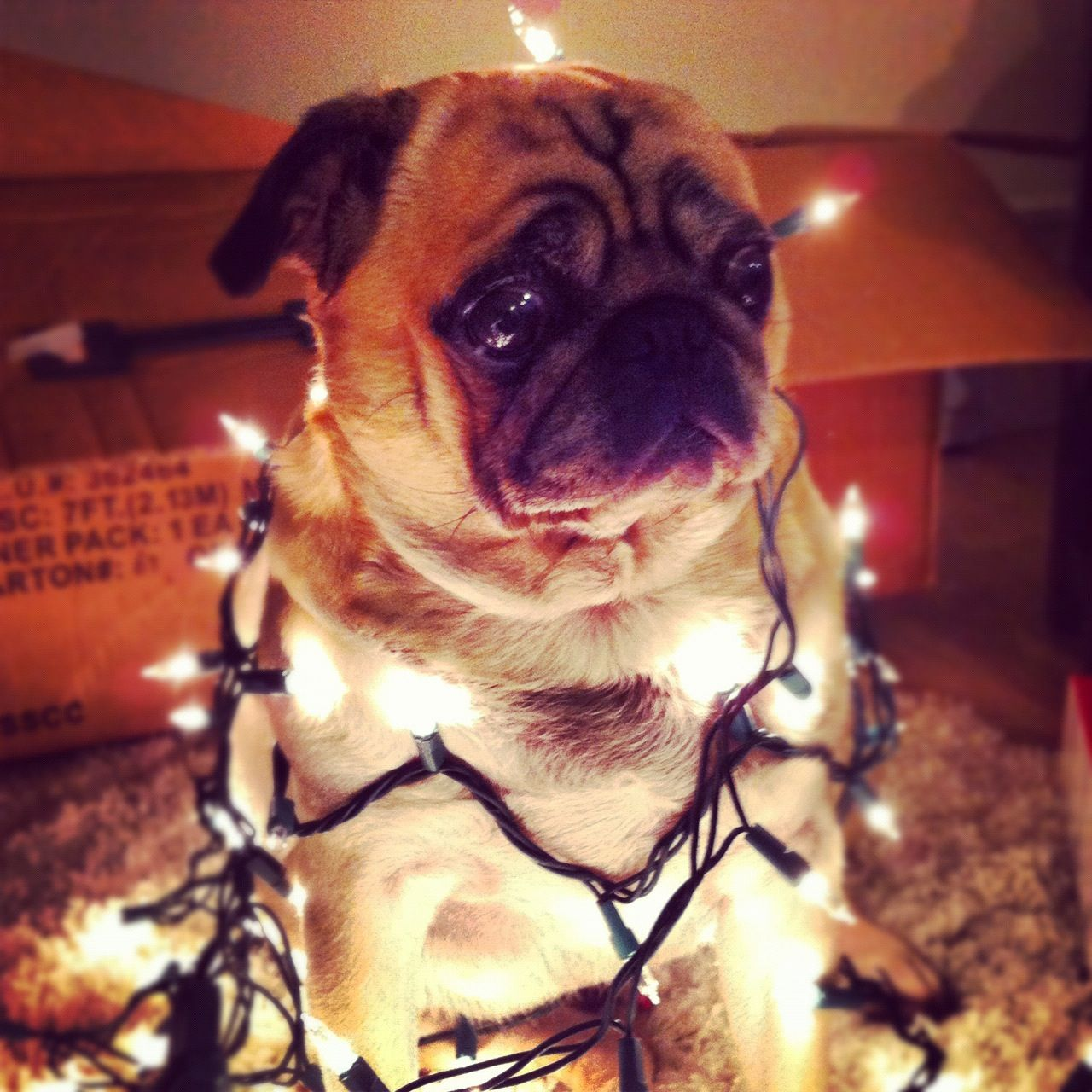Christmas Pug Cute Pugs Cute Baby Pugs Pugs