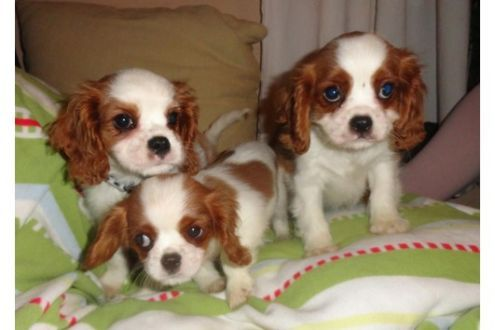 Regalo Cavalier King Charles Spaniel.Cuccioli Di Cavalier King In Regalo Cavaliers Dogs Animals