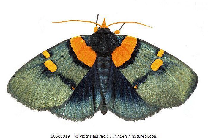 African Peach Moth (Egybolis vaillantina), Gorongosa National Park, Mozambique A...  #African #Egybolis #Gorongosa #moth #Mozambique #National #Park #Peach #vaillantina