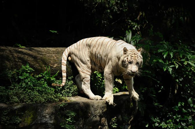 The 10 Best Singapore Night Safari Tours Trips Amp Tickets Singapore Zoo Singapore Attractions Singapore
