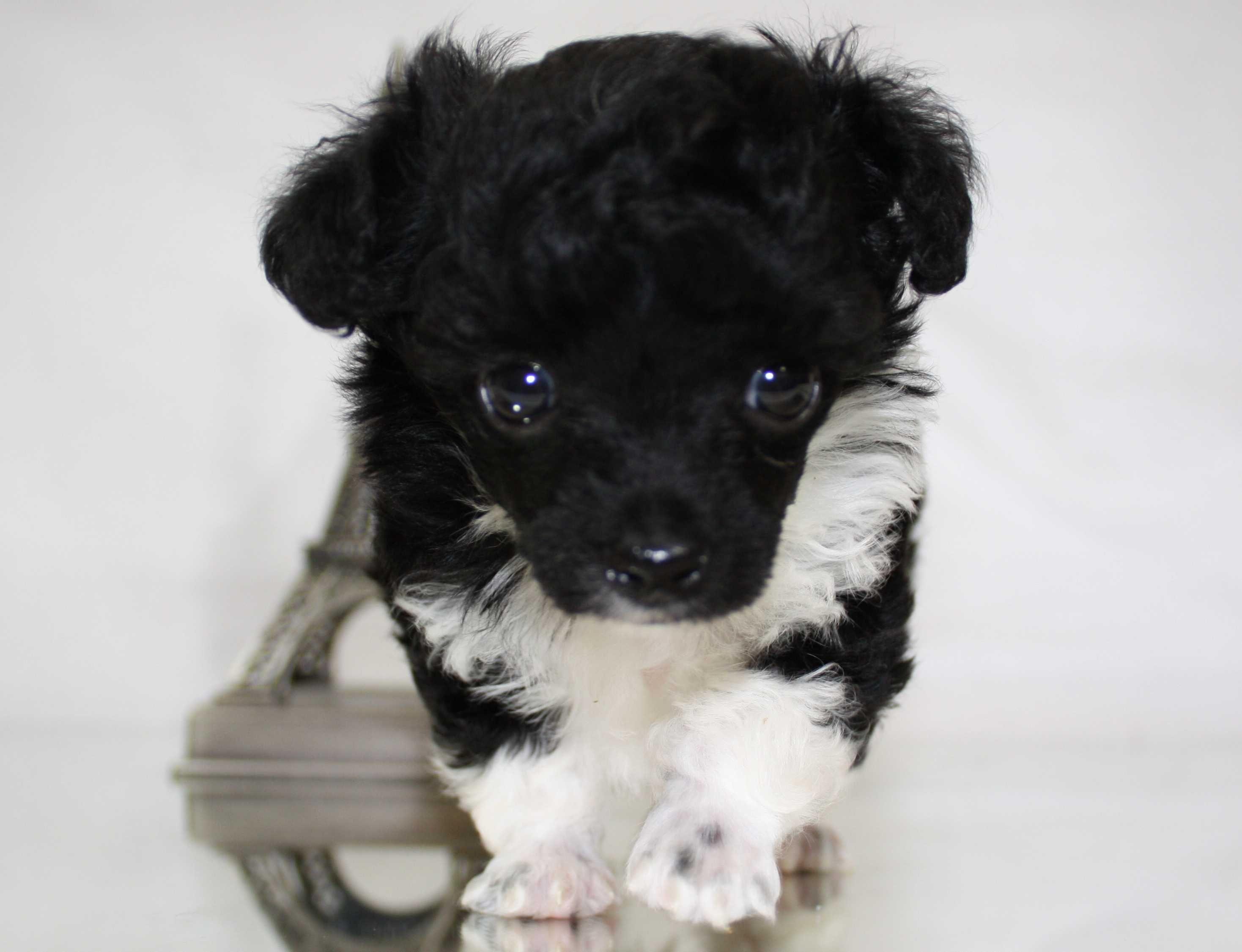 Little Fuzzy Teacup Poodles Tea Cup Poodle Poodle Puppy Poodle