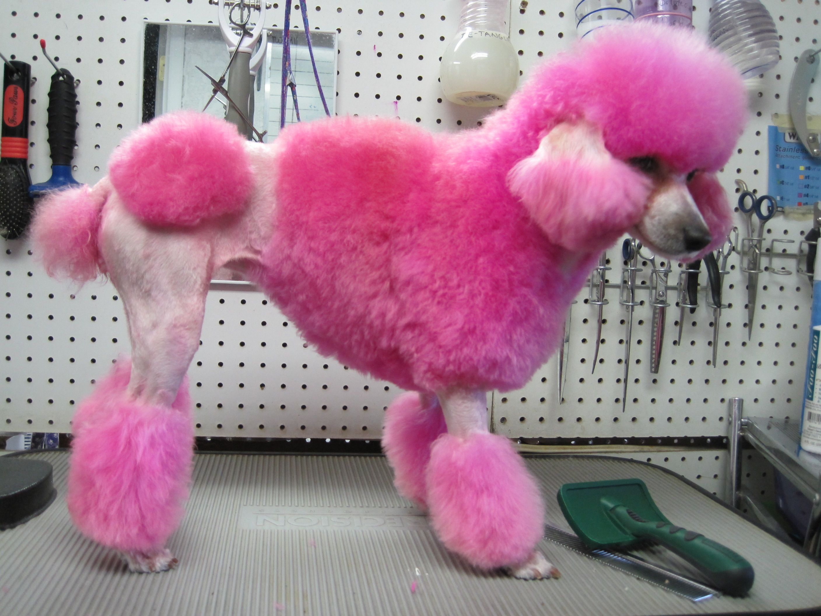 Very Bright Pink Dog Dye Pink Poodle Pink Dog