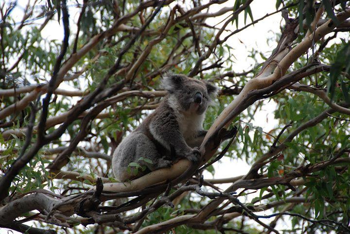 Koalas in the wild, Cape Otway, Great Ocean Road