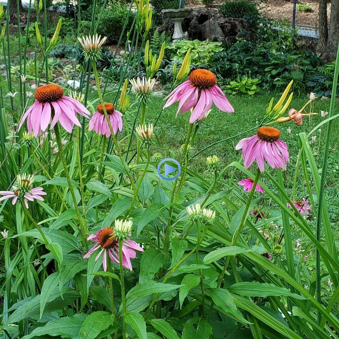 Coneflower Montage Echinacea Coneflowers Summerblooms Whatsbloomingnow Gard Gardenin In 2020 Echinacea Montage Flowers