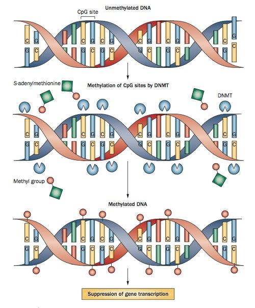 A diagram of the mechanism of DNA methylation. DNA ...