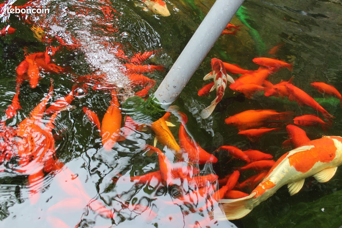 poisson rouge bassin exterieur bassin