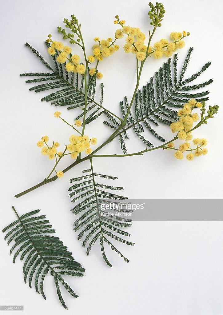 Leguminosae Acacia Mearnsii Black Wattle Branch With Numerous Small Yellow Flowers Acacia Branch Tattoo