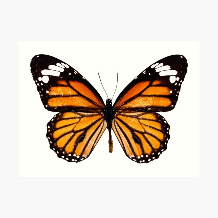 24 Monarchbutterfly Monarch Butterfly Butterflyart In 2020 Monarch Butterflies Art Monarch Butterfly Butterfly Poster