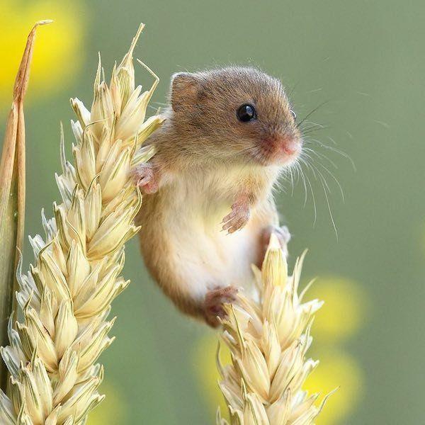 20 Photographs Of Harvest Mice By Dean Mason