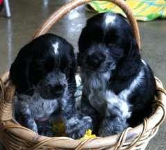Puppies For Sale Dogs In Australia Perros Dibujos Pinturas
