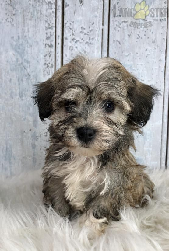 Zach Havanese Puppy for Sale in Sugarcreek, OH
