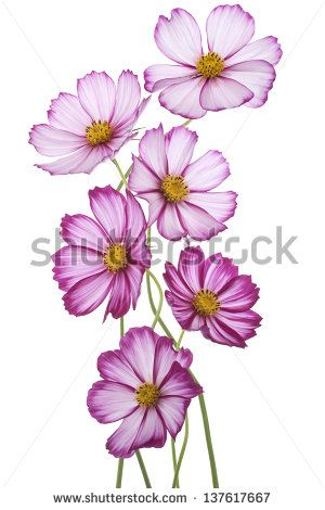Studio Shot Of Fuchsia Colored Cosmos Flowers Isolated On White