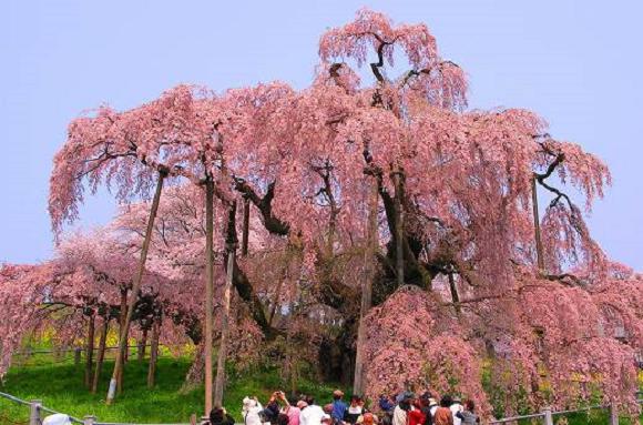 Miharu Takizakura Cherry Blossom Tree Cherry Blossom Sakura Tree