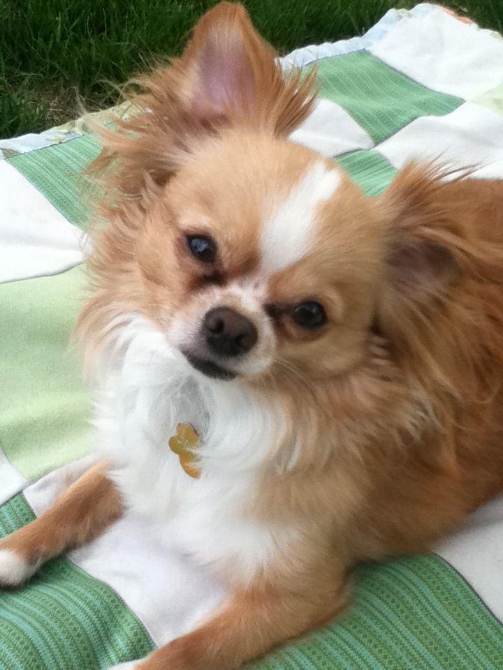 Delgado 3 Lh Chihuahua Chihuahua Dogs Corgi