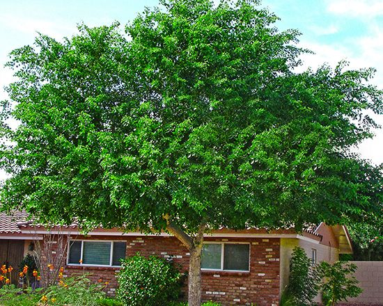 Water Wise Low Water Trees For California Fast Growing Shade