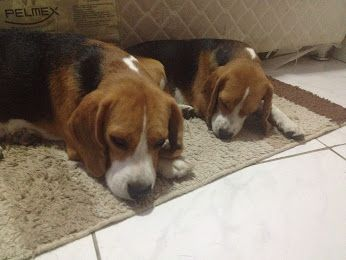 Daisy My Cute Beagle And Golden Retriever Mix Golden Retriever Beagle Mix Beagle Mix Puppies Beagle Puppy