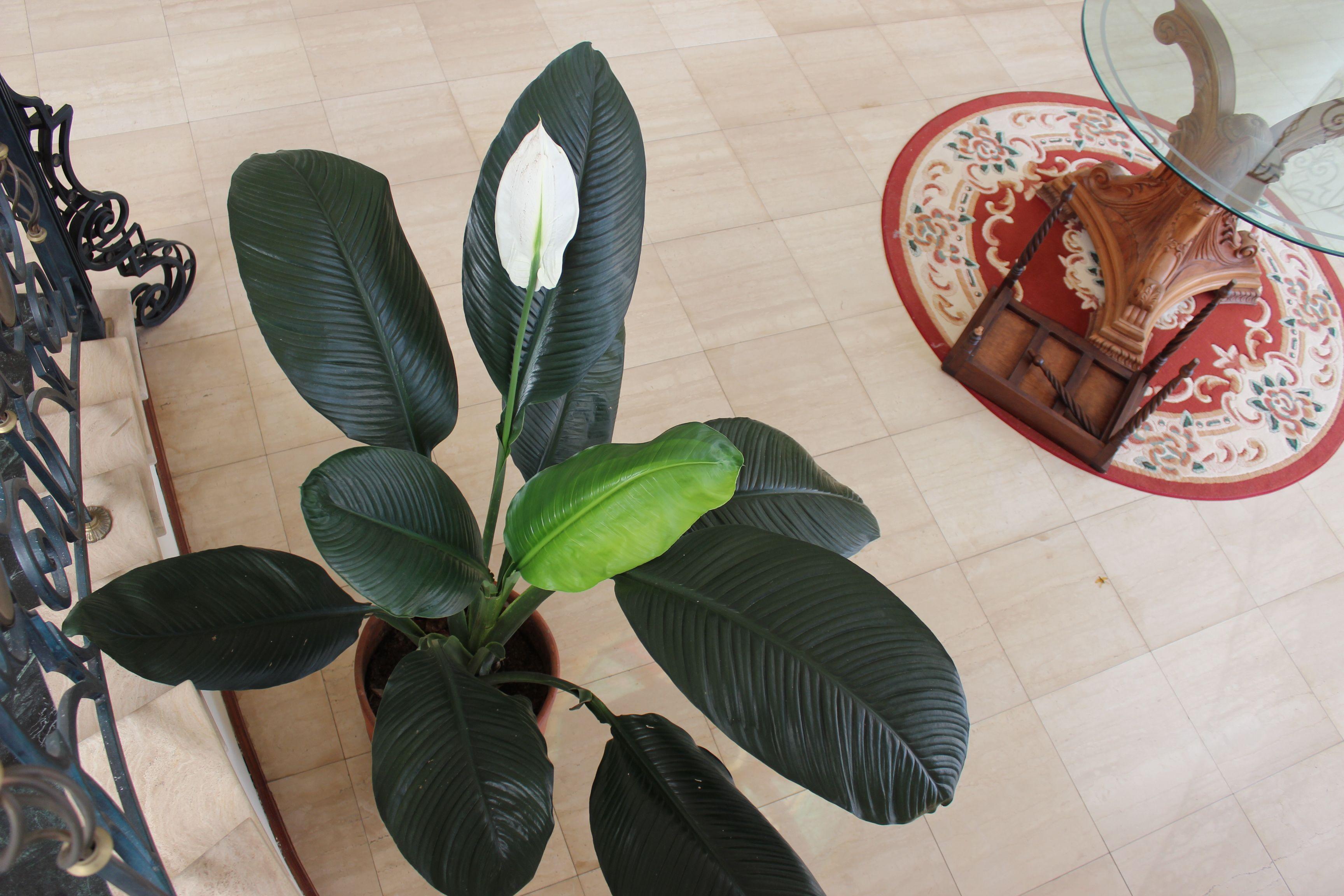 die besten 25 cuna de moises flor ideen auf pinterest gro e zimmerpflanzen zimmerpflanze und. Black Bedroom Furniture Sets. Home Design Ideas