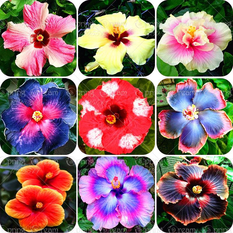Wholesale Hibiscus Dry Hibiscus Flower Suppliers Dried Hibiscus Flowers Cheap Garden Plants Hibiscus