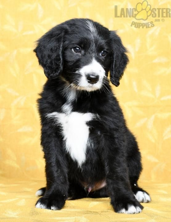1,500. Trent Sheepadoodle Puppy for Sale in Fresno, OH