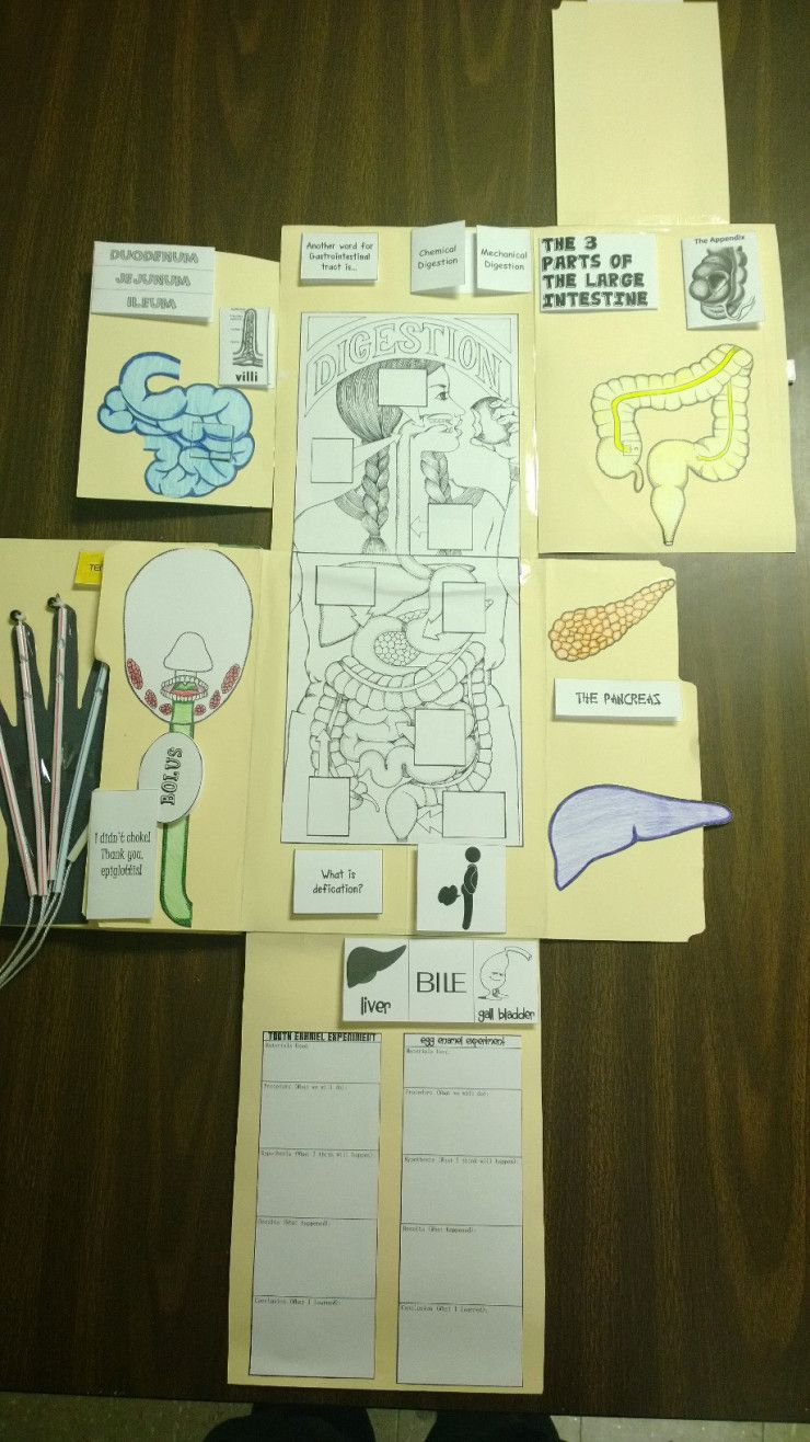 Blood and Guts – Lapbook, Lesson 4 | Ciencia
