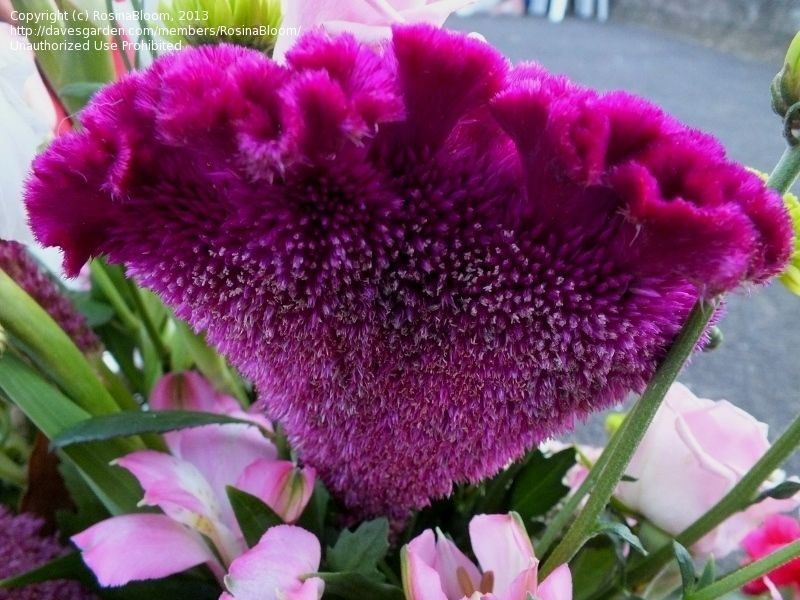 Full Size Picture Of Cockscomb Cristata Group I Celosia Argentea Var Cristata I Beautiful Flowers Types Of Flowers Flower Names